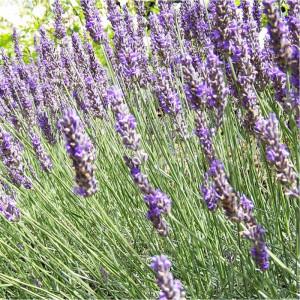 Spike lavender oil 100 ml