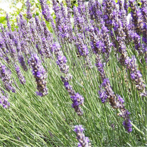 Spike lavender oil 100 ml